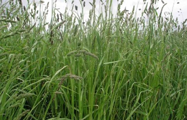 gräser-unkraut